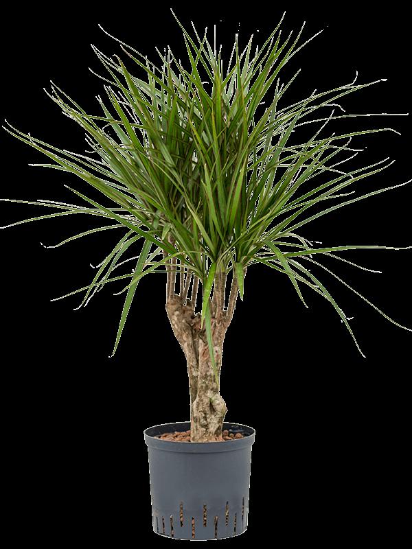 Dracaena marginata 80 cm magas, 22 cm-es cserépben