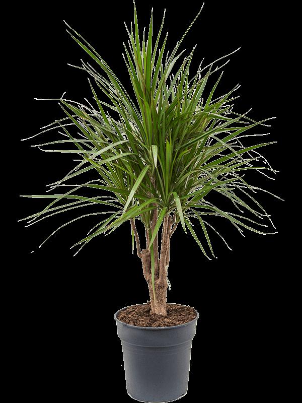 Dracaena marginata 100 cm magas, 24 cm-es cserépben