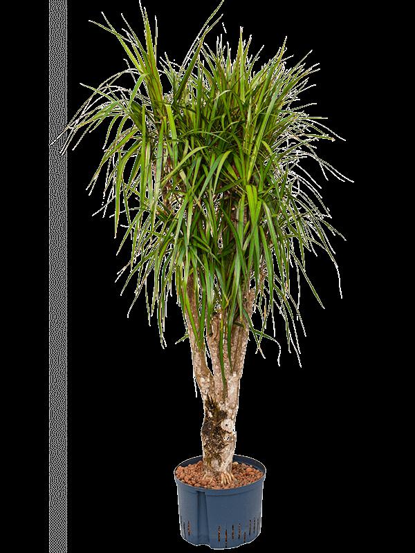 Dracaena marginata 140 cm magas, 28 cm-es cserépben