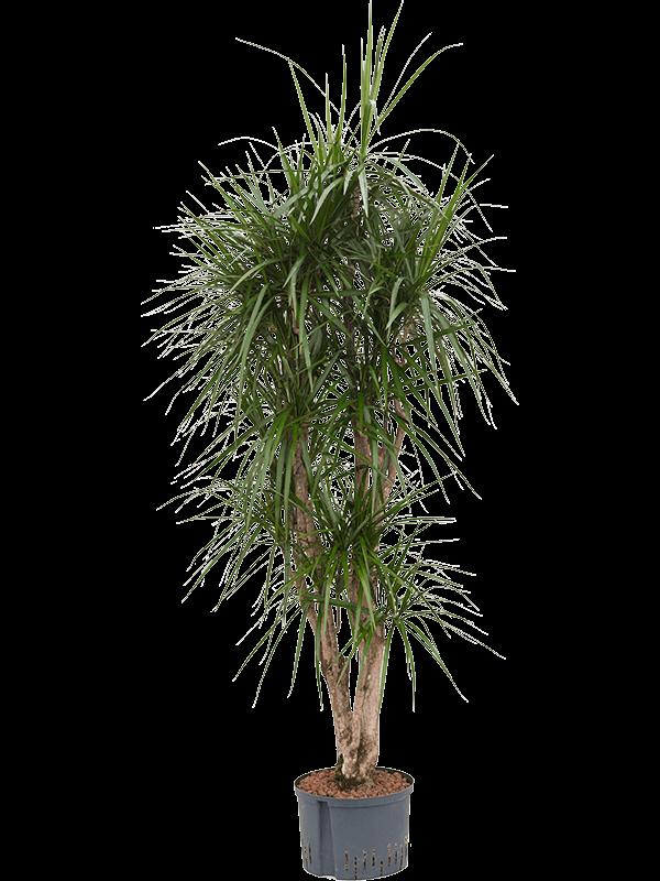Dracaena marginata 180 cm magas, 28 cm-es cserépben