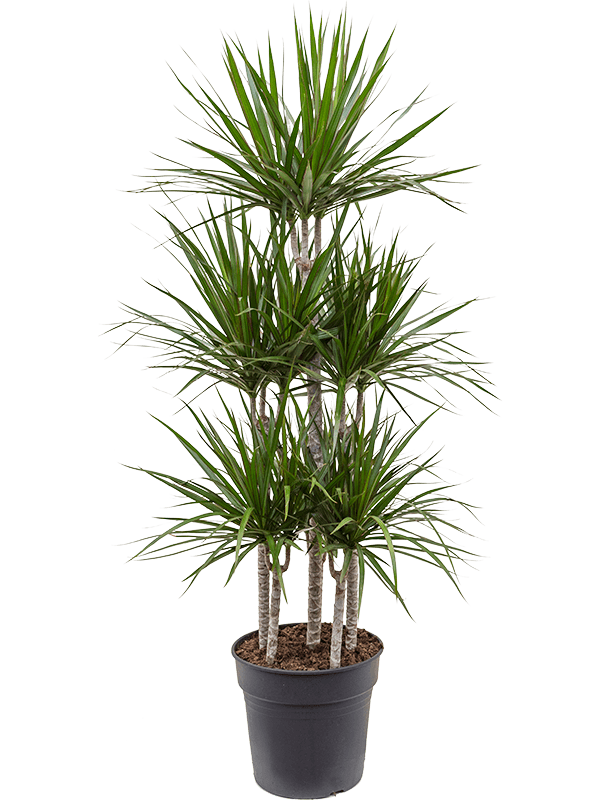 Dracaena marginata 150 cm magas, 30 cm-es cserépben