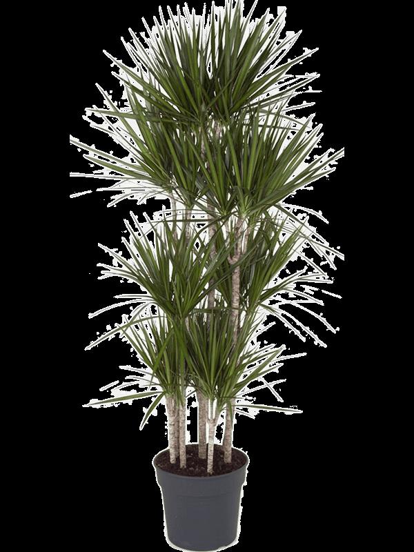 Dracaena marginata 190 cm magas, 34 cm-es cserépben