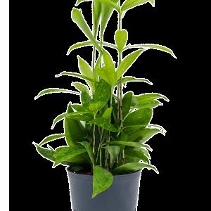 Dracaena surculosa 30 cm magas, 13 cm-es cserépben