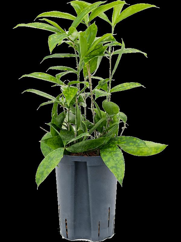 Dracaena surculosa 45 cm magas, 15 cm-es cserépben
