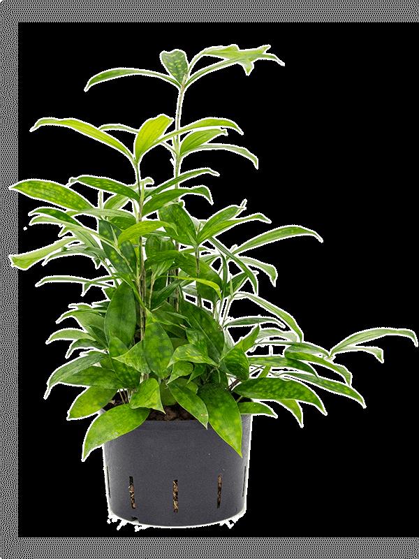 Dracaena surculosa 35 cm magas, 18 cm-es cserépben