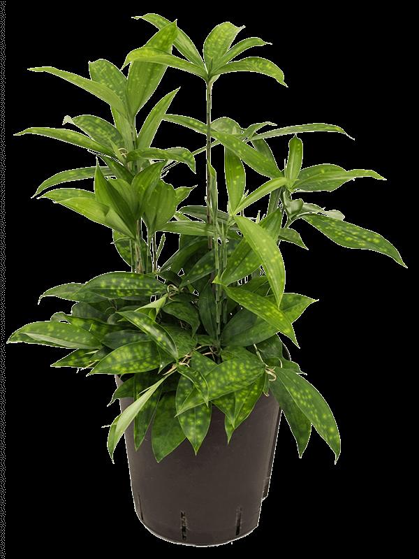 Dracaena surculosa 50 cm magas, 18 cm-es cserépben