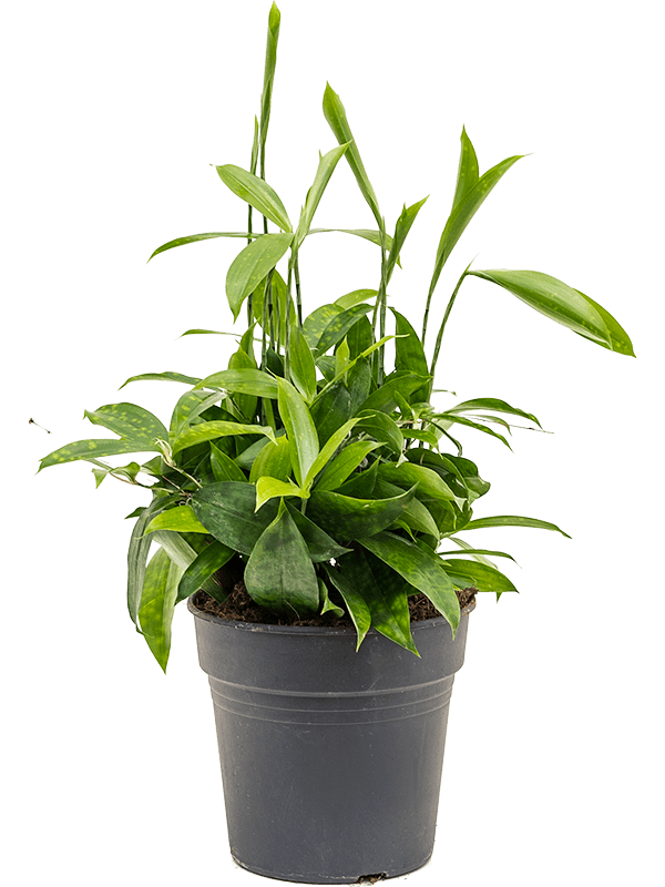 Dracaena surculosa 40 cm magas, 19 cm-es cserépben