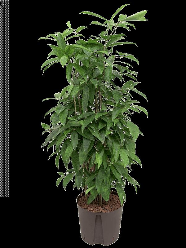 Dracaena surculosa 90 cm magas, 22 cm-es cserépben