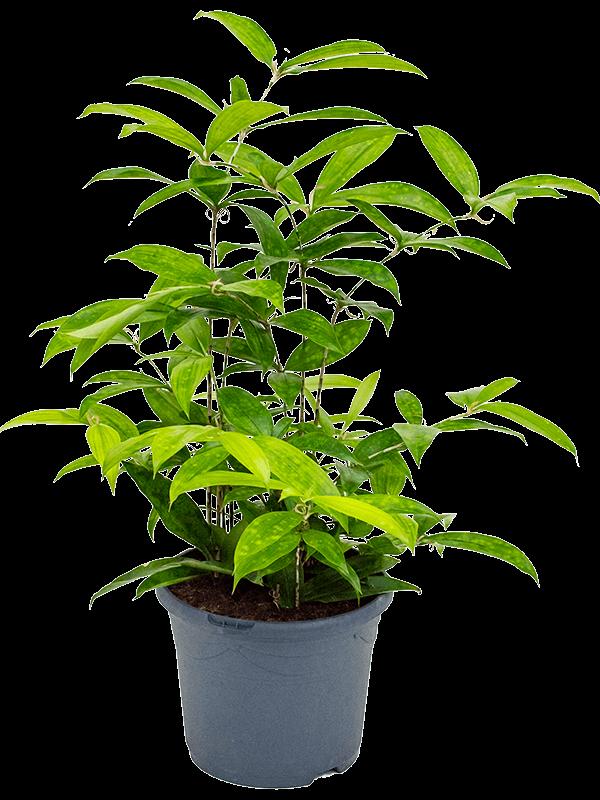 Dracaena surculosa 50 cm magas, 24 cm-es cserépben