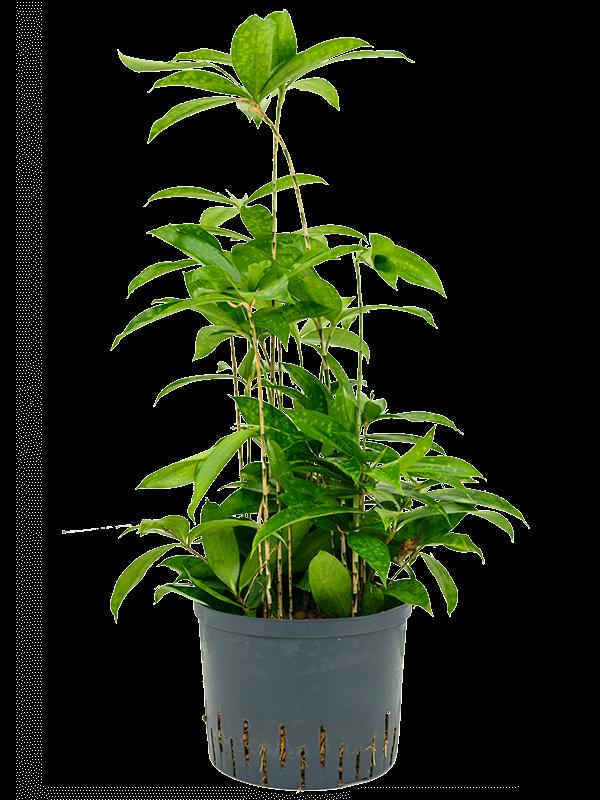 Dracaena surculosa 80 cm magas, 25 cm-es cserépben