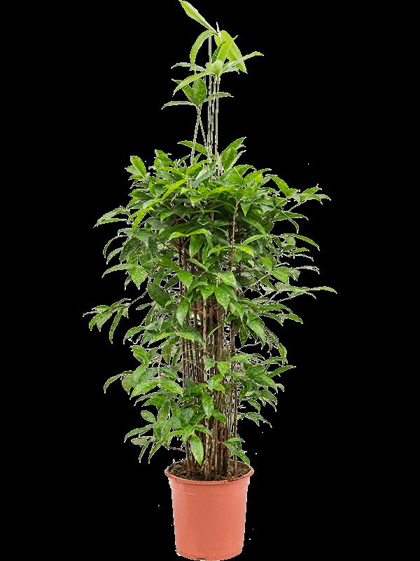 Dracaena surculosa 105 cm magas, 27 cm-es cserépben