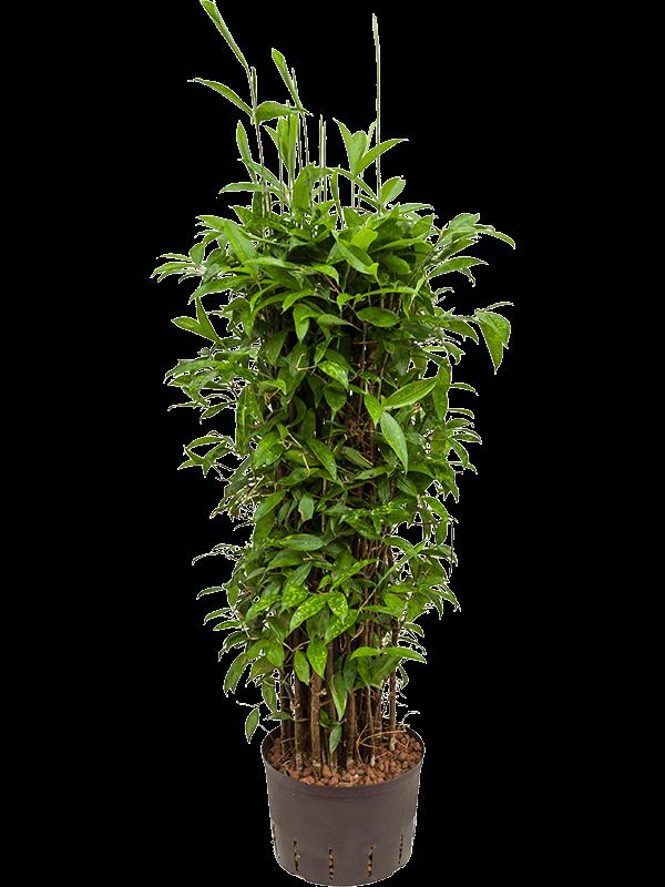 Dracaena surculosa 160 cm magas, 28 cm-es cserépben