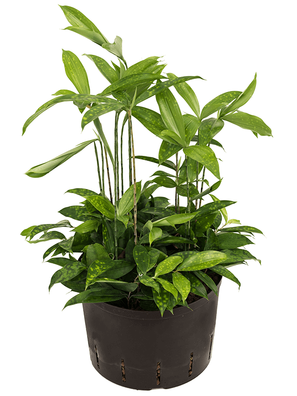 Dracaena surculosa 80 cm magas, 28 cm-es cserépben