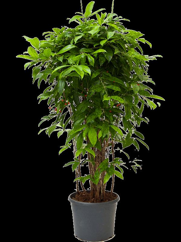 Dracaena surculosa 130 cm magas, 30 cm-es cserépben