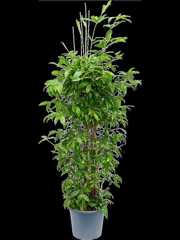 Dracaena surculosa 170 cm magas, 34 cm-es cserépben