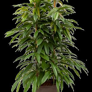 Ficus amstel king 95 cm magas, 28 cm-es cserépben