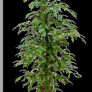 Ficus benjamina 100 cm magas, 18 cm-es cserépben