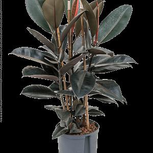 Ficus elastica abidjan 90 cm magas, 22 cm-es cserépben