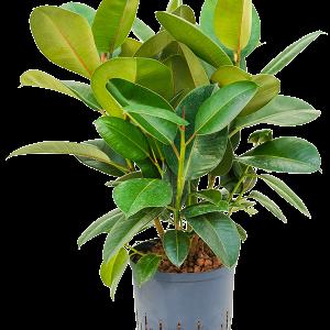 Ficus elastica robusta 75 cm magas, 22 cm-es cserépben