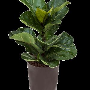 Ficus lyrata bambino 50 cm magas, 15 cm-es cserépben