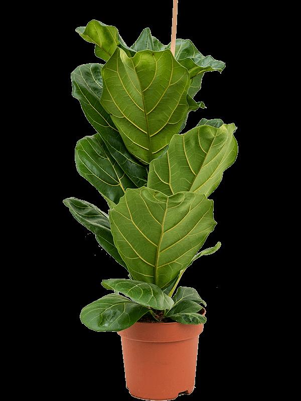 Ficus lyrata 90 cm magas, 21 cm-es cserépben
