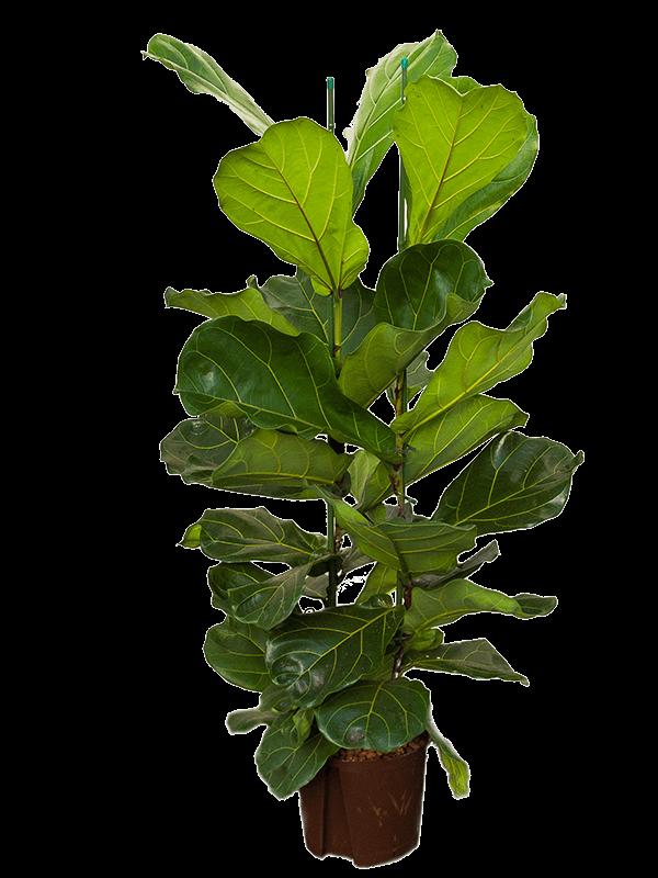 Ficus lyrata 120 cm magas, 22 cm-es cserépben