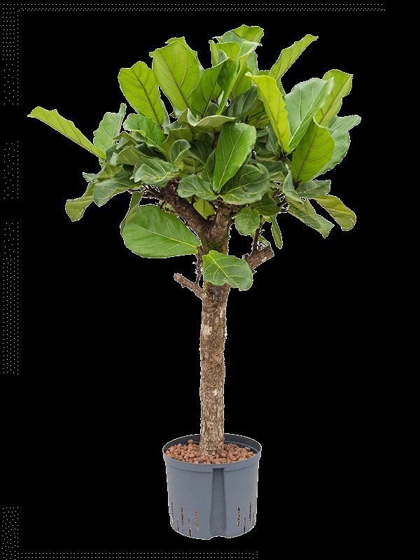 Ficus lyrata 150 cm magas, 25 cm-es cserépben