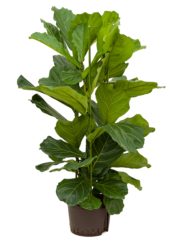 Ficus lyrata 120 cm magas, 28 cm-es cserépben