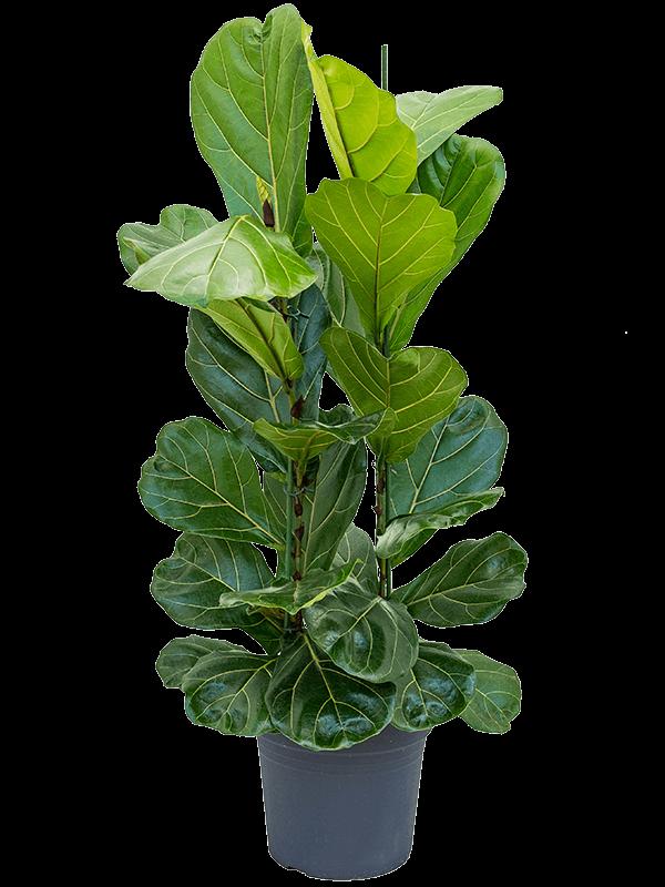 Ficus lyrata 110 cm magas, 30 cm-es cserépben