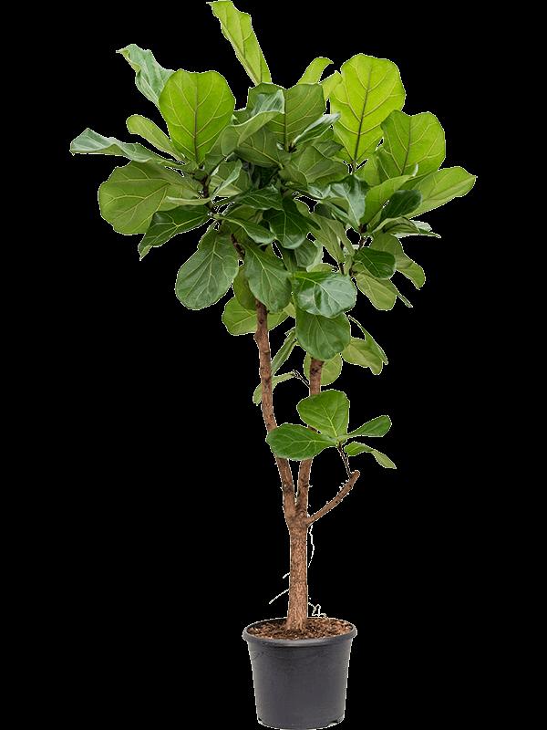 Ficus lyrata 160 cm magas, 30 cm-es cserépben