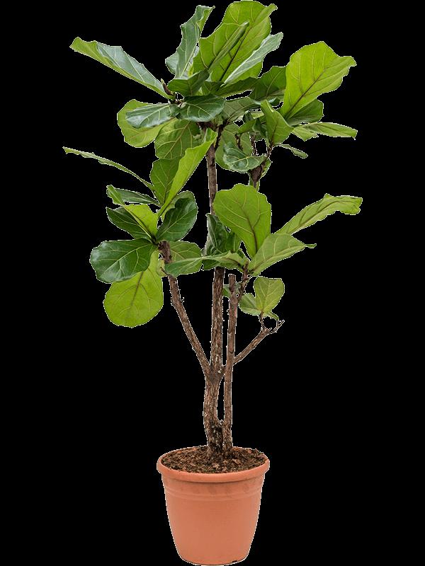 Ficus lyrata 145 cm magas, 31 cm-es cserépben