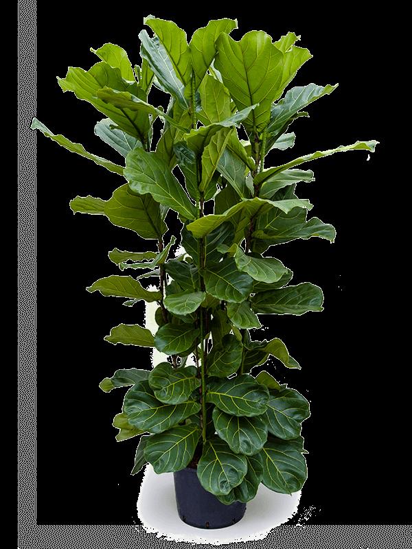 Ficus lyrata 135 cm magas, 32 cm-es cserépben