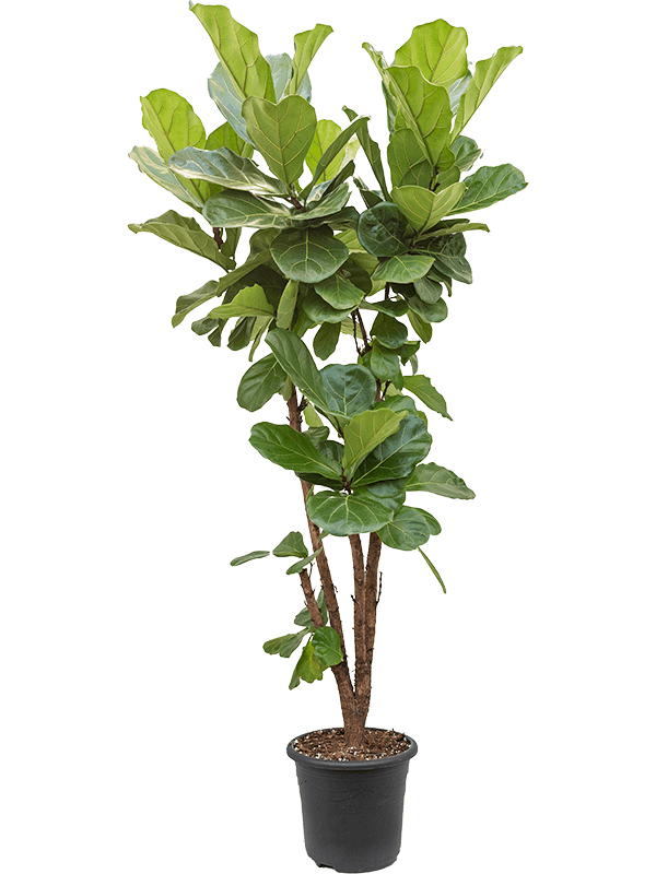 Ficus lyrata 180 cm magas, 32 cm-es cserépben