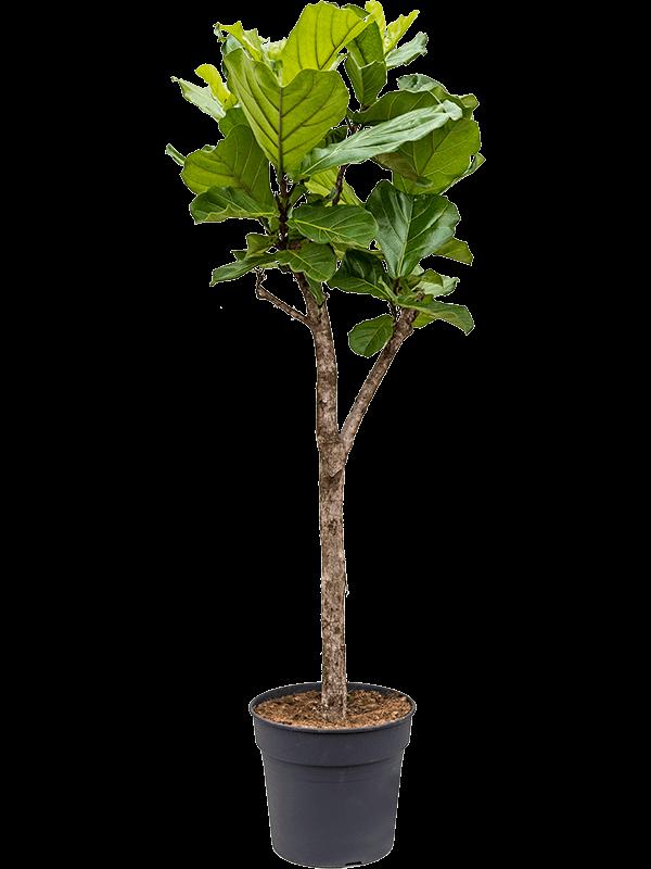 Ficus lyrata 160 cm magas, 34 cm-es cserépben