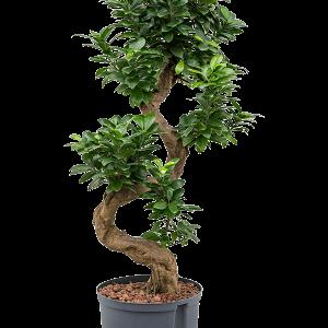 Ficus microcarpa compacta 95 cm magas, 25 cm-es cserépben