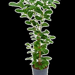 Ficus moclame 60 cm magas, 15 cm-es cserépben