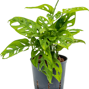 Monstera obliqua 35 cm magas, 13 cm-es cserépben