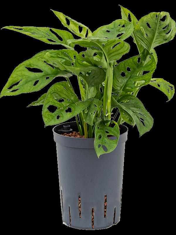 Monstera obliqua 35 cm magas, 15 cm-es cserépben