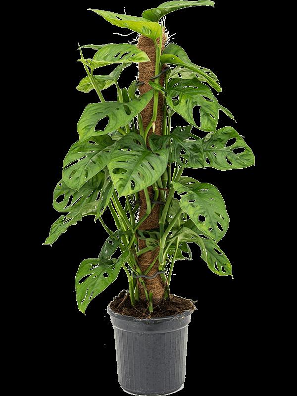 Monstera obliqua 60 cm magas, 16 cm-es cserépben