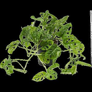Monstera obliqua 40 cm magas, 19 cm-es cserépben