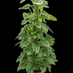 Monstera obliqua 150 cm magas, 27 cm-es cserépben