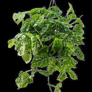Feng Shui növények