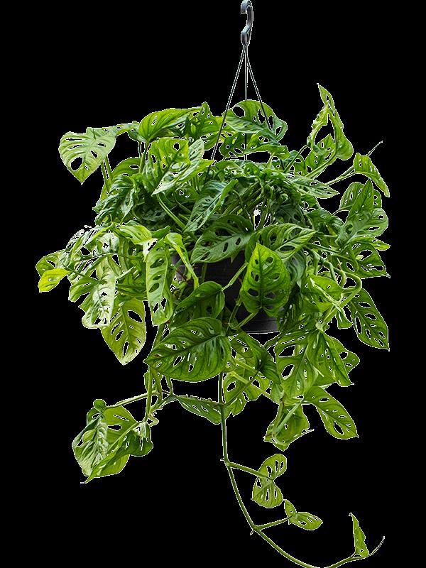Monstera obliqua 45 cm magas, 28 cm-es cserépben