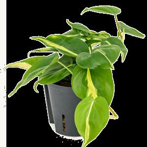 Philodendron grand brasil 20 cm magas, 13 cm-es cserépben
