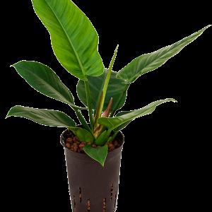 Philodendron imperial green 40 cm magas, 15 cm-es cserépben