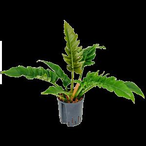 Philodendron narrow 55 cm magas, 18 cm-es cserépben
