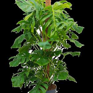 Térelválasztó növények