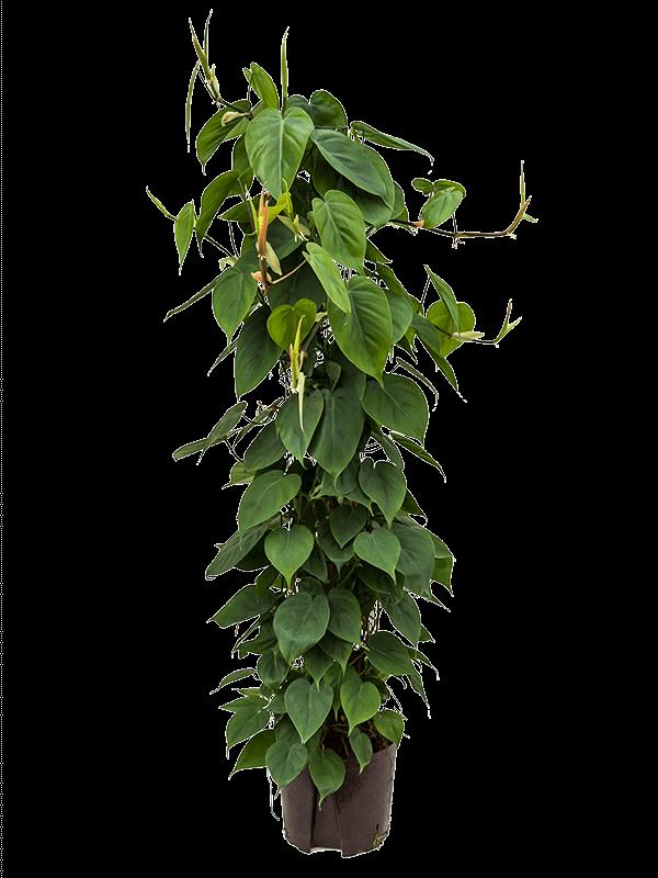 Philodendron scandens 120 cm magas, 22 cm-es cserépben