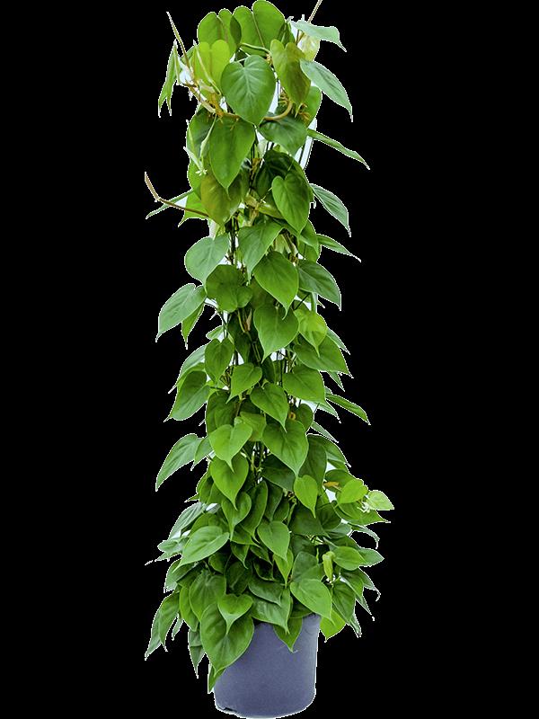 Philodendron scandens 130 cm magas, 27 cm-es cserépben