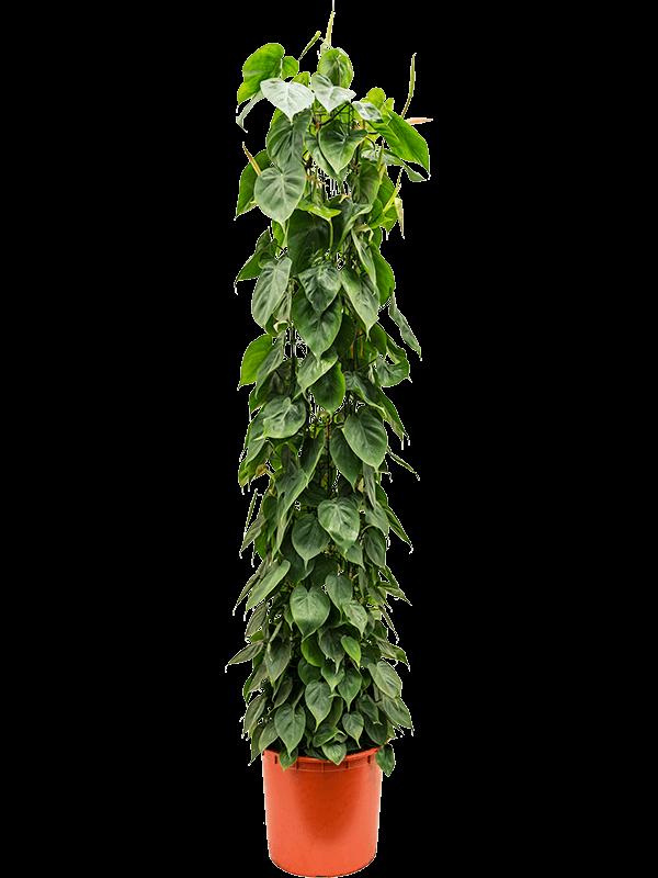 Philodendron scandens 180 cm magas, 34 cm-es cserépben